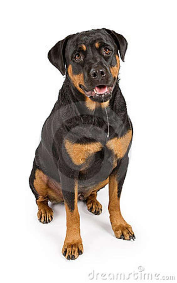 rottweiler-dog-drool-15714847